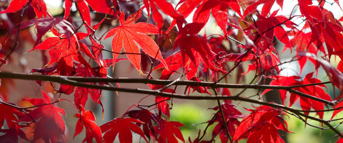 red leaves in a japanese maple